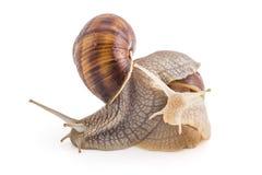 Garden snails Stock Image