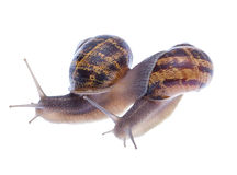 Garden snails. Royalty Free Stock Photography