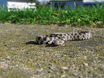Garden Snake on Concrete Stock Photography
