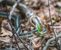 Garden Snake In Woods In Wisconsin. An garden snake looking at camera in the woods during Spring in Wisconsin stock photo