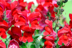 Garden Snapdragons Royalty Free Stock Image