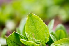 Garden sorrel Royalty Free Stock Photo