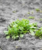 Garden sorrel. In the park in nature Royalty Free Stock Photo