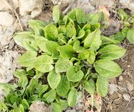 Garden sorrel. In the park in nature Royalty Free Stock Images