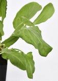 Garden Sorrel Leaves Stock Photos