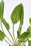 Garden Sorrel Leaves. A close up of the Garden Sorrel leaves stock photography