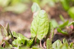 Garden sorrel Stock Photo