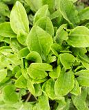 Garden sorrel Royalty Free Stock Image