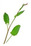 Garden sorrel (Rumex acetosa) Royalty Free Stock Image