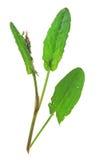 Garden sorrel (Rumex acetosa) Stock Images