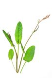 Garden sorrel (Rumex acetosa) Royalty Free Stock Photos