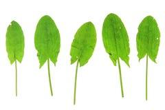 Garden sorrel (Rumex acetosa) Stock Image