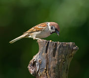 Garden sparrow Royalty Free Stock Images