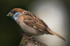 Garden sparrow Stock Images