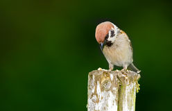 Garden sparrow Royalty Free Stock Photos