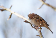Garden sparrow looking away Royalty Free Stock Photos