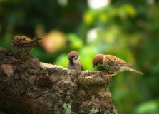 Garden sparrows Stock Photos
