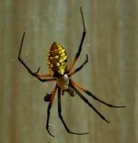 Garden Spider. Black and Yellow female garden spider Royalty Free Stock Photos