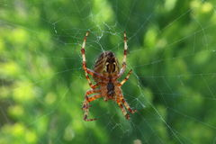 Garden spider. A common garden spider waits for prey in the middle of its web against a green background Royalty Free Stock Image