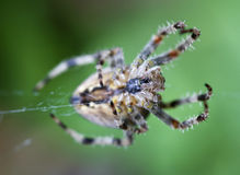 Garden Spider. Common UK garden spider close up showing underside Stock Photography