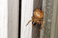 Garden spider, Royalty Free Stock Photos