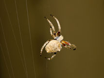Garden Spider. Brown garden spider building a web Stock Photos