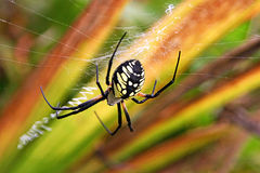 Garden Spider Royalty Free Stock Image
