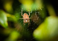 Garden Spider. A close-up of a garden spider sitting in its lair Stock Image