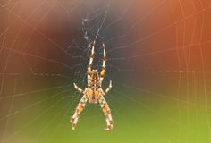 Garden Spider. Common Garden Orb Weaver Spider on its Web Royalty Free Stock Photography