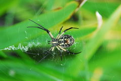 Garden Spider. Found while walking around a pond in New Mexico Royalty Free Stock Photos