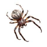 Garden spider (Araneidae). Garden spider on the black background, (Araneidae Royalty Free Stock Photo