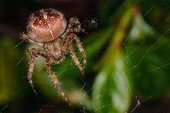Garden Spider (Araneus diadematus). A Garden Spider in it's web (Araneus diadematus Royalty Free Stock Photos