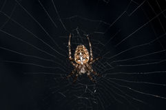 Garden spider, Araneus diadematus Royalty Free Stock Photography