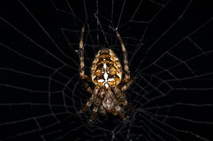 Garden spider, Araneus diadematus Stock Photography