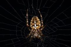 Garden spider, Araneus diadematus Stock Photography