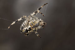 Garden Spider.  Araneus Diadematus. Garden spider, spider, araneus diadematus,  common garden spider found in the UK Stock Photography
