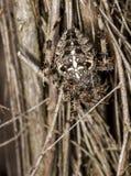 Garden Spider.  Araneus Diadematus. Garden spider, spider, araneus diadematus,  common garden spider found in the UK Stock Photos