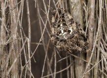 Garden Spider.  Araneus Diadematus. Garden spider, spider, araneus diadematus,  common garden spider found in the UK Stock Image