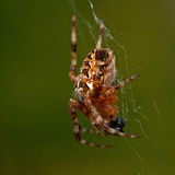 Garden spider, Araneus diadematus eating a prey. In macro Stock Photography