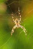 Garden spider, Araneus diadematus Stock Image
