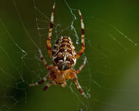 Garden spider, Araneus diadematus. In macro Royalty Free Stock Photos