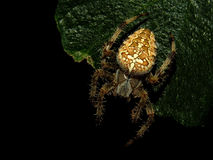 Garden spider Araneus diadematus. Night shot, sharp detailed Stock Photography