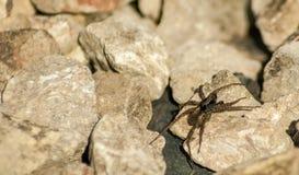 Garden Spider Araneus Diadematus on a rock. In a garden of Bristol, England Royalty Free Stock Photo