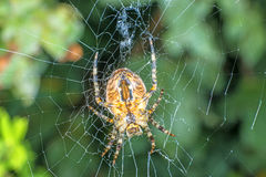 Garden spider, Araneus diadematus Royalty Free Stock Photo