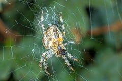 Garden spider, Araneus diadematus. In a web Stock Photography