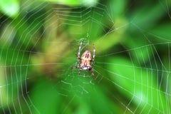 Garden Spider in the autumn garden Stock Image