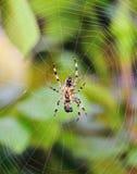 Garden Spider in the autumn garden Royalty Free Stock Photos