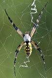 Garden Spider (Black & Yellow) Royalty Free Stock Image