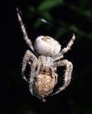 Garden spider cannibal. A garden spider with its prey, another garden spider Stock Images