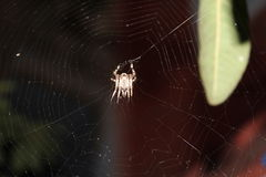 Garden spider caught spunning its web Royalty Free Stock Images